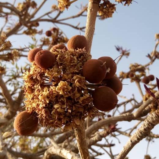 Des noix de karité